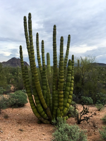 An Organ Pipe Cactus