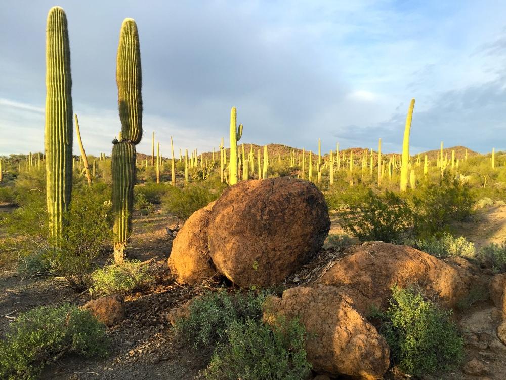 Organ Pipe Cactus NP