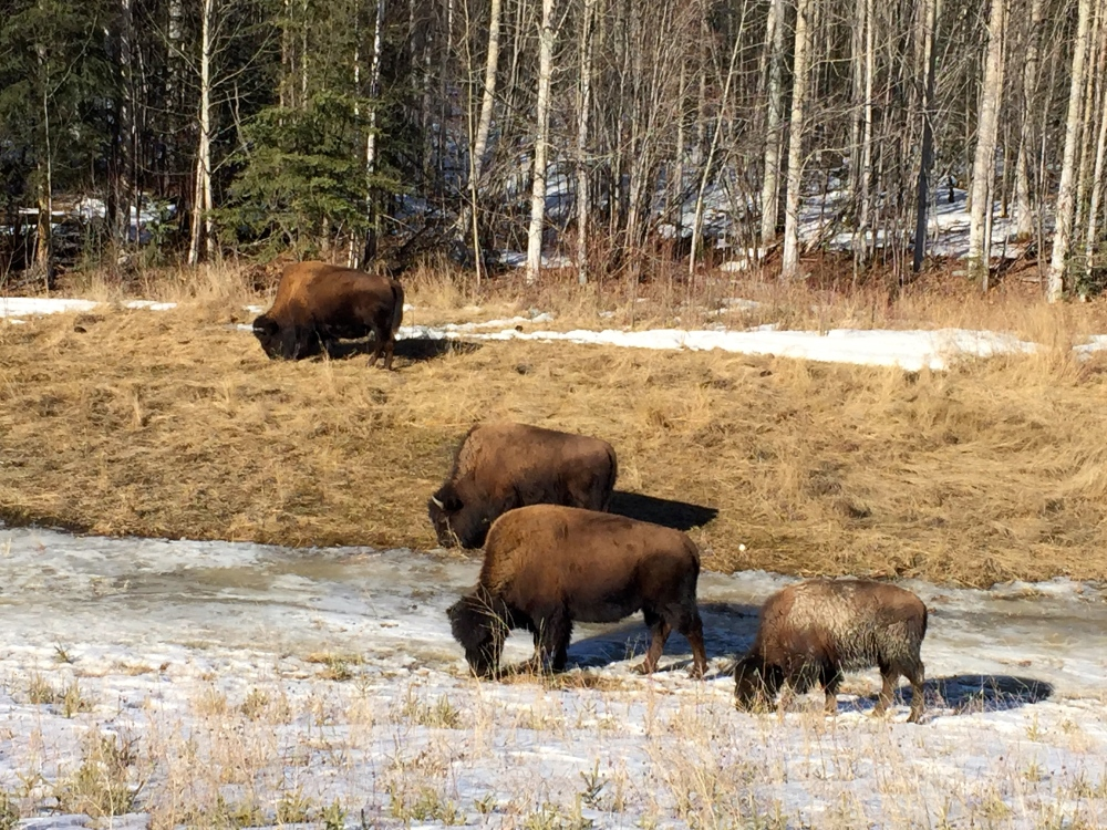 Wood Bison Are A Potential Night Time Driving Hazard