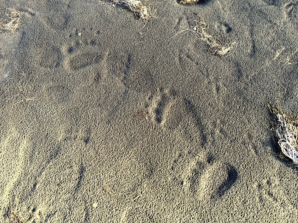 Bear Tracks Along The Shores Of Jackson Lake