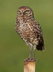 Burrowing Owls Live Around the Lake