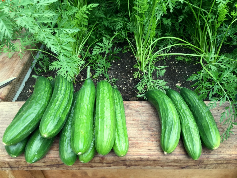 Cucumbers For Sale!