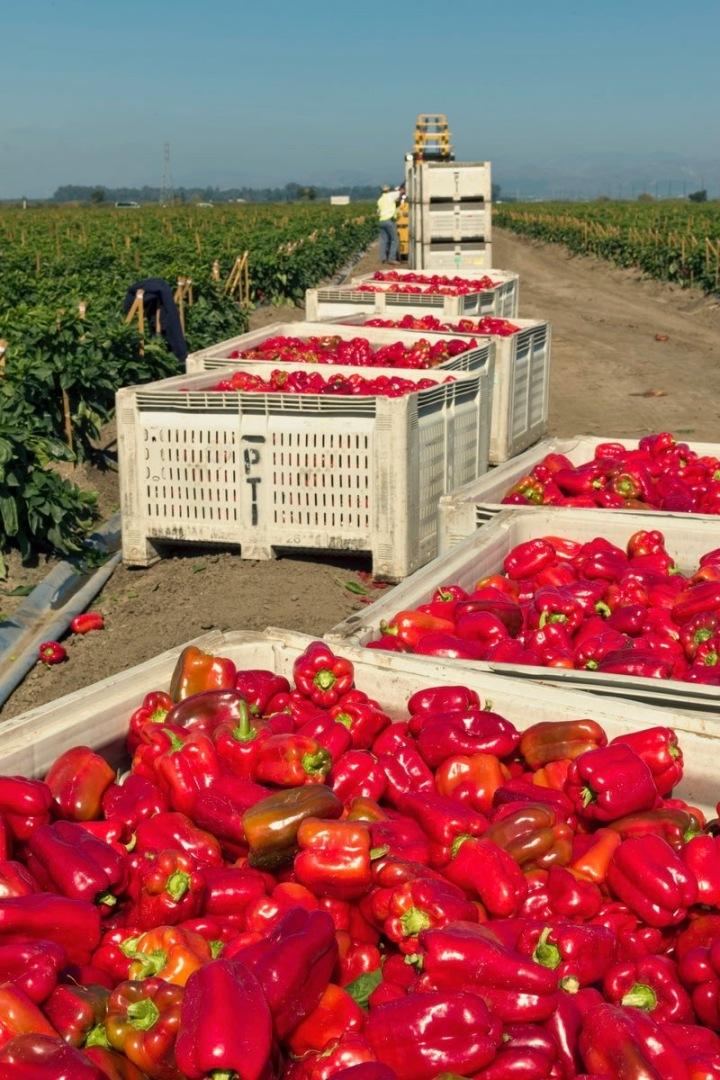 pepper_harvest1