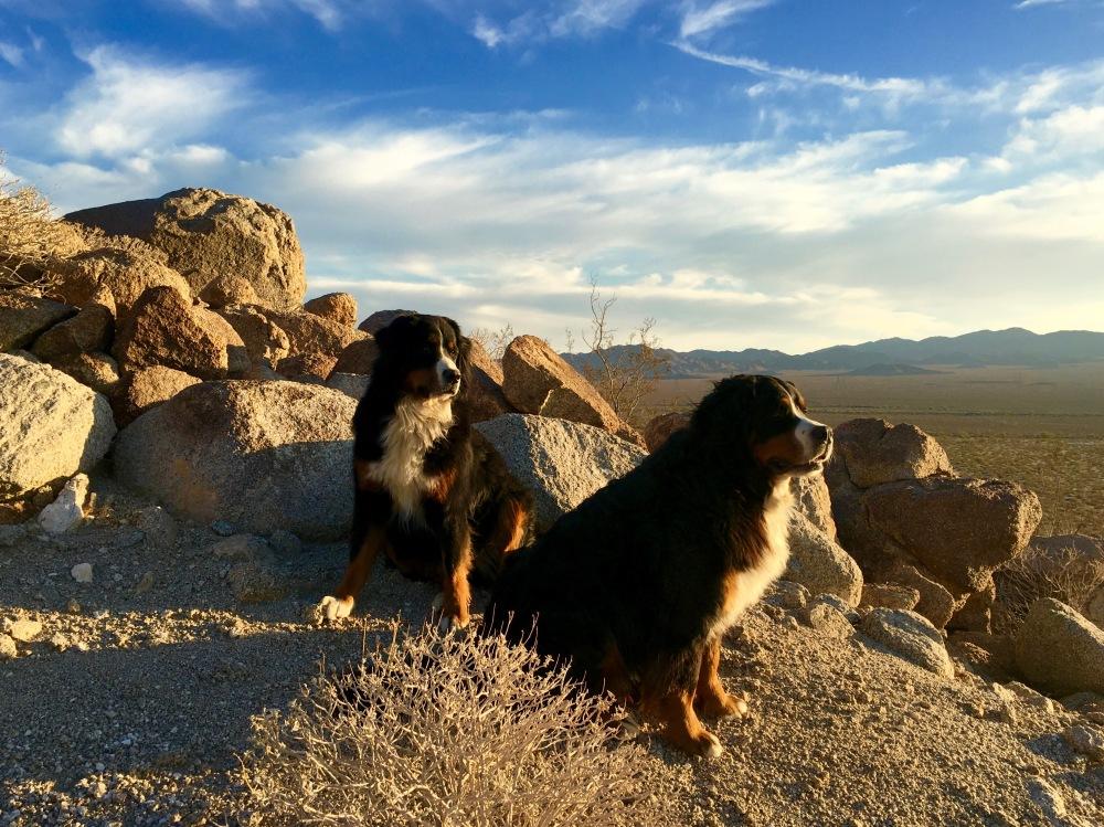 The Pups Enjoy The Evening Light Near Camp