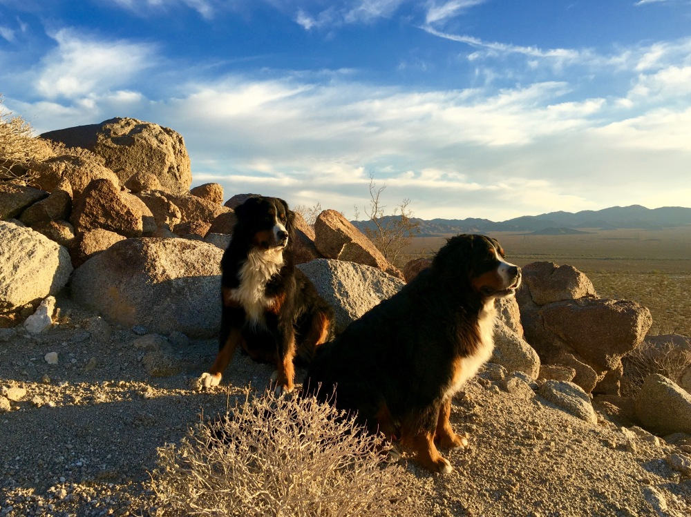 The Pups Enjoy The Evening Light Near Camp